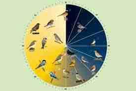 Descubren que los pájaros emplean para cantar un «metrónomo»interno